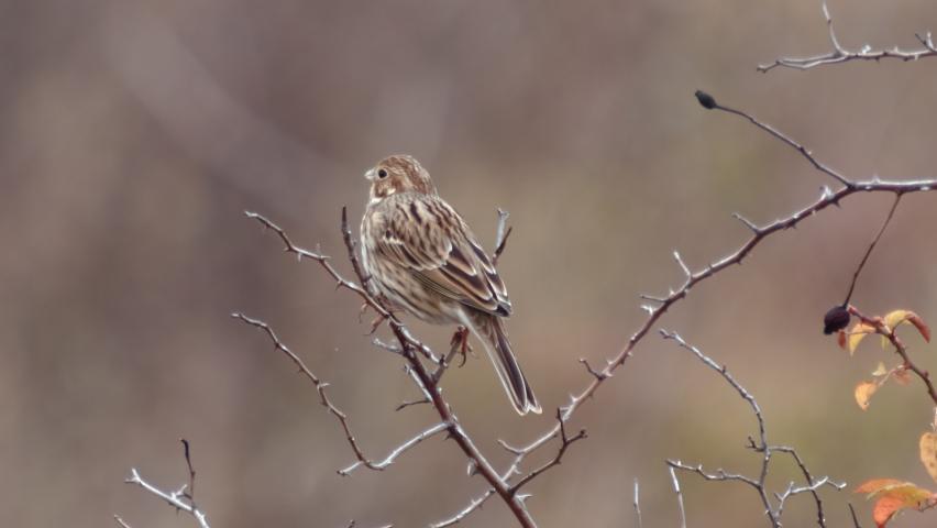 Song bird species - Corn Bunting (Miliaria calandra) in late Autumn.   Shutterstock HD Video #1065699520