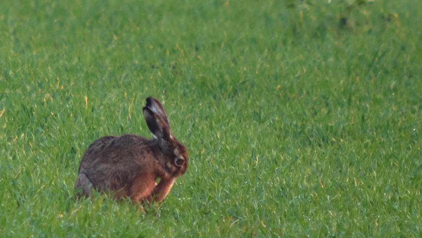Mammal species - European Brown Hare (Lepus europaeus) on the field.   Shutterstock HD Video #1065699562