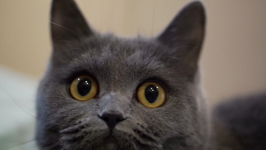 British gray cat looks at the toy, turning its head from side to side; the cat turns its head from left to right.The cat is dancing. | Shutterstock HD Video #1065895465