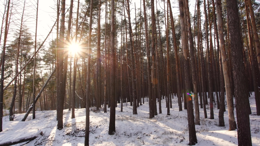Beautiful winter snowy forest covered with fresh frosty white snow. Gold sunset sunshine bursting through logs and branches of old huge tall pine trees growing on snowy hills. Amazing winter weather. Royalty-Free Stock Footage #1065932716