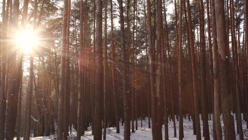 Beautiful winter snowy forest covered with fresh frosty white snow. Gold sunset sunshine bursting through logs and branches of old huge tall pine trees growing on snowy hills. Amazing winter weather Royalty-Free Stock Footage #1065940756