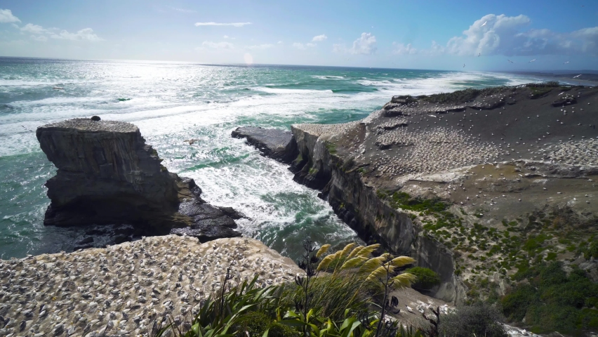 Muriwai is an impressive coastline with cliff-top trails to a huge gannet colony, with easy access and viewing platforms that let you get up close. | Shutterstock HD Video #1066052320