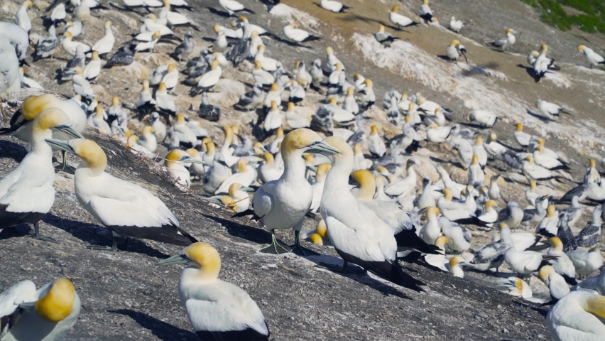 Muriwai is an impressive coastline with cliff-top trails to a huge gannet colony, with easy access and viewing platforms that let you get up close. | Shutterstock HD Video #1066052371