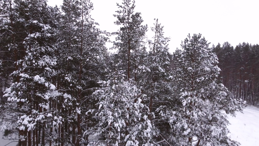 Drone flying up pine trees covered in snow. | Shutterstock HD Video #1066054813