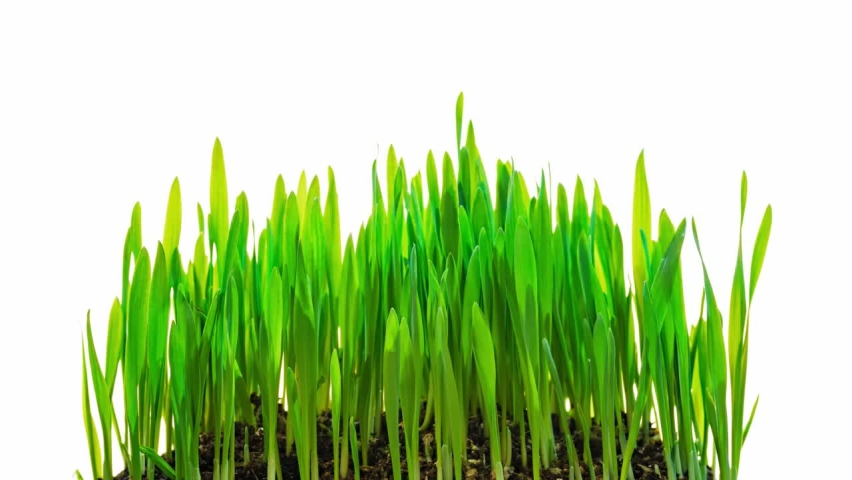 Oat Grass growing time-lapse isolated on white background time lapse   Shutterstock HD Video #1066173901