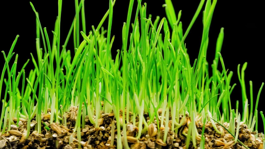 Time-lapse green grass growing. Closeup of green grass growing - isolated on white background   Shutterstock HD Video #1066173922