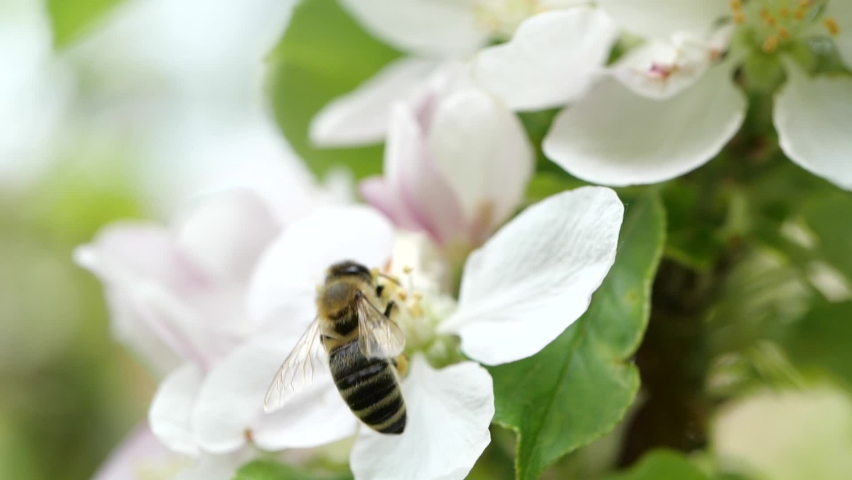 Bee in front of white flower in Austria Royalty-Free Stock Footage #1066190668