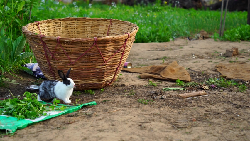 Funny little kid Oryctolagus Cuniculus rabbit hiding against wooden fodder cot. White rabbit walking in green couches. Domestic pets concept. | Shutterstock HD Video #1066191514