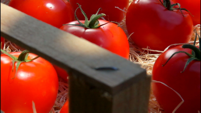 Close-up panorama of the ripe red tomatoes laying in the wooden box with shavings on the summer sunny day. Tomato harvesting | Shutterstock HD Video #1066191850