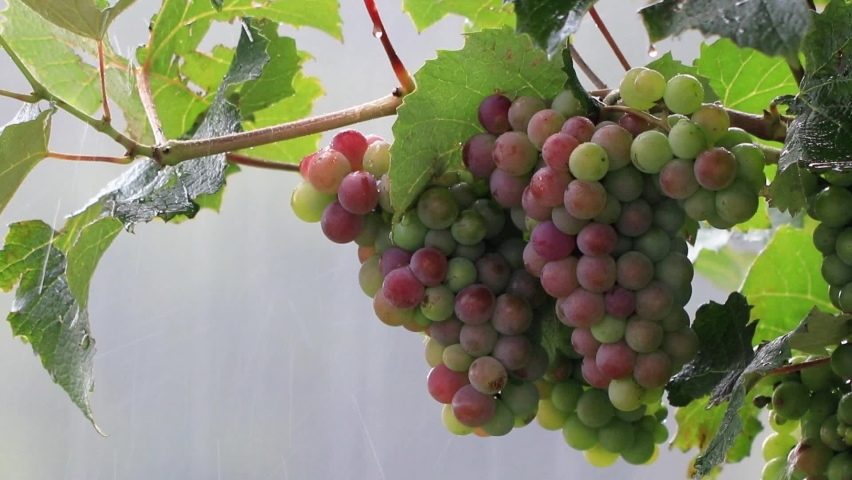 Bunches of red grapes in the rain | Shutterstock HD Video #1066192486
