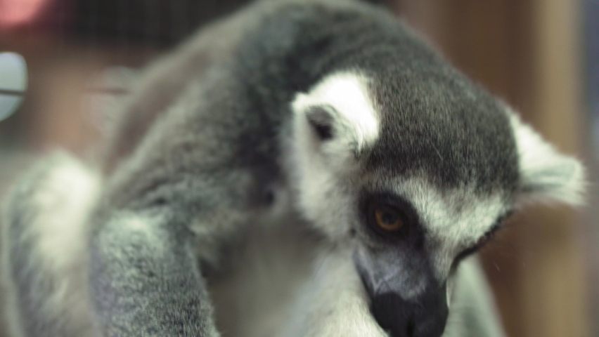 Close up portrait of cute funny animal catta lemur monkey looking at camera. social video about helping animal. pets, petting zoo, nature, ecology, environmental protection, red list, humanity concept | Shutterstock HD Video #1066272889