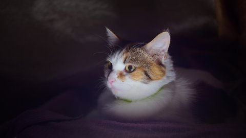 Portrait of a tricolor domestic cat in its box at night, close up