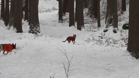 Dog runing in the beautiful winter nature. Dogs happily frolic in winter nature