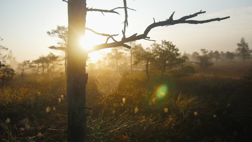 Dolly shot through marshland pine trees with cobwebs during foggy sunrise | Shutterstock HD Video #10669835