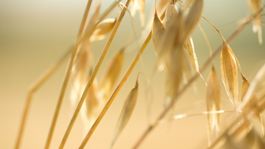 Close-up slider shot of yellow ripe spikelets of oats  Royalty-Free Stock Footage #1066999594