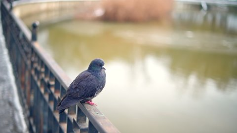 Pigeons resting on a fence at Valea Morilor lake in Chisinau, Moldova, slow motion