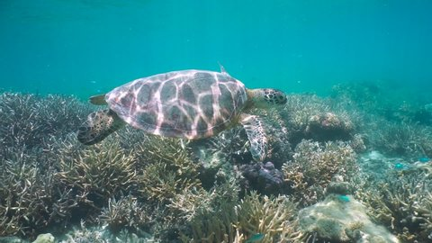 A green sea turtle underwater in a coral reef, Pacific ocean