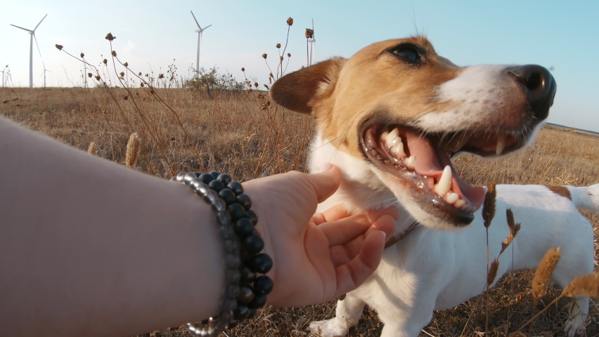 Dog Jack Russell Terrier Tongue Sticking Out From Pleasure Woman's Hand Strokes on Walk in Windy Park in Nature Background of Large Wind Turbines and Bright Sunny Sunset Summer. Pets | Shutterstock HD Video #1067182360