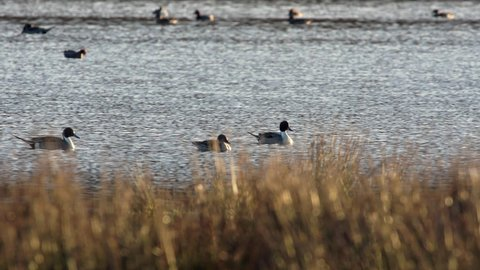 Northern Pintail, Anas acuta birds in environment