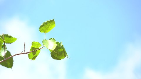 Ficus religiosa or sacred fig Bodhi tree, Green leaf on windy on blue sky background, daytime on clear sky of nature