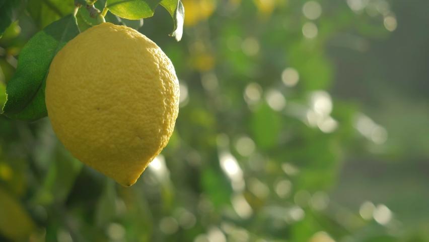 Lemon tree, ripe lemons hanging on tree. growing lemons in Italy, citrus orchard. fresh fruit harvest, fruits crop. fruit garden.