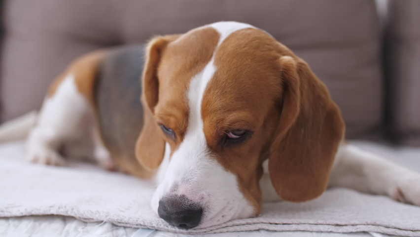 Dog Beagle with sad eyes lies at home in the on the sofa. The puppy is resting. Mans best friend. Slow motion | Shutterstock HD Video #1067726594