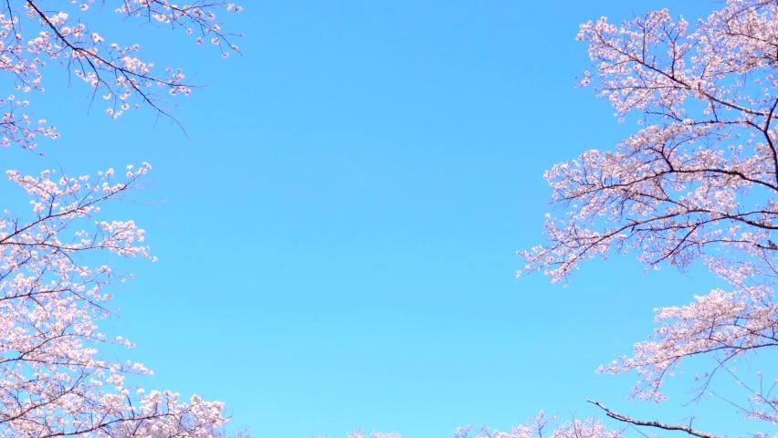 Sakura Japan Tokyo spring tree  | Shutterstock HD Video #1067746274