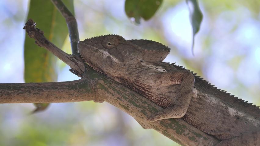 Pan shot of Giant Chameleon Hiding On Tree Branch, Madagascar