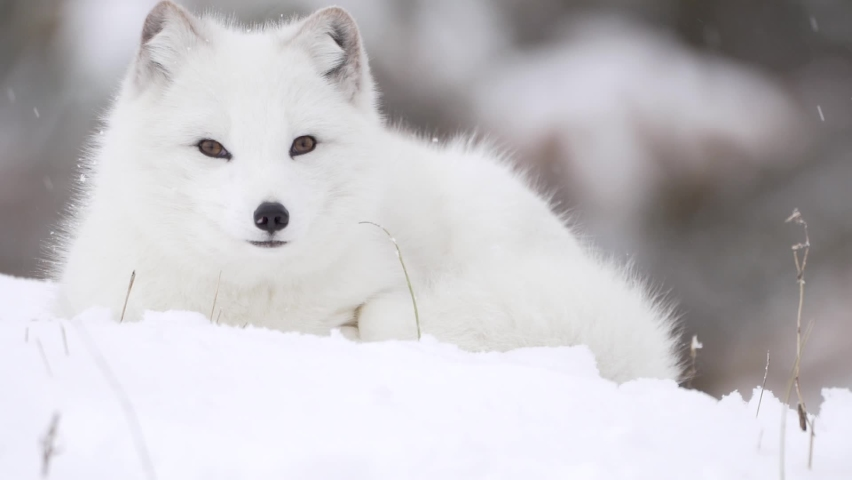 Arctic Fox with yellow eyes stares at the camera head on in a snowfall.