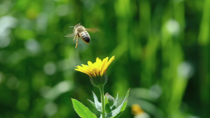 Honey bee view while fly and collect pollen from flower,animal insect wildlife   Shutterstock HD Video #1067886365