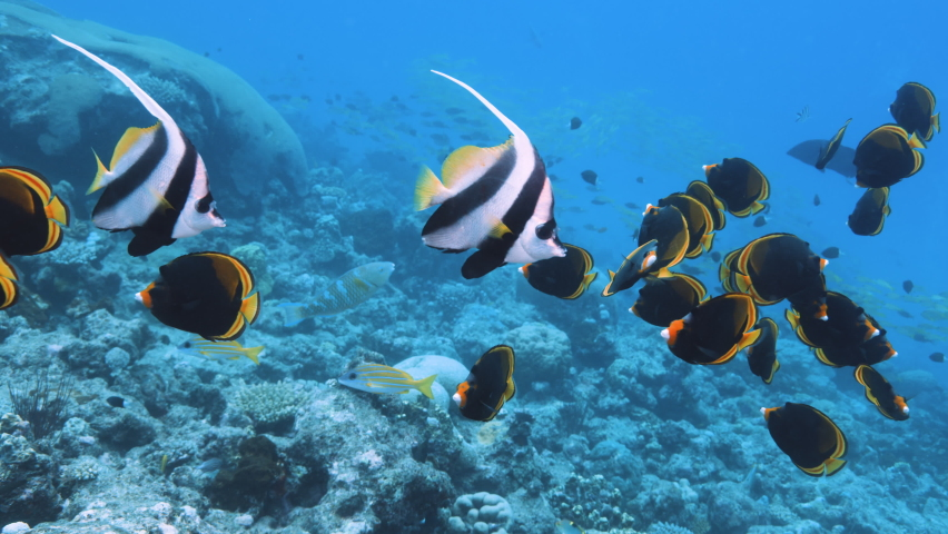 Pair of Bannerfish or false moorish idol slowly swims over the seabed in the blue water background. Schooling Bannerfish (Heniochus diphreutes. Great Barrier Reef, ribbon reef. High quality 4k footage