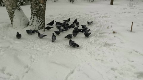 Pigeons peck at bread crumbs in the snow. A flock of pigeons takes off