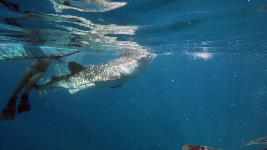 Slow motion shot diving Big whale shark (Rhincodon typus) feeding on plancton behind boat at night and swims in blue water in Maldives, Bohol Sea, Philippines, Southeast Asia. Underwater video. | Shutterstock HD Video #1068069197
