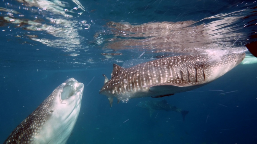 Slow motion shot diving Big whale shark (Rhincodon typus) feeding on plancton behind boat at night and swims in blue water in Maldives, Bohol Sea, Philippines, Southeast Asia. Underwater video. | Shutterstock HD Video #1068069200