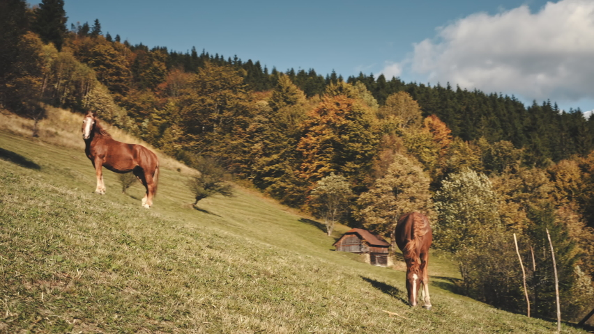 Closeup aerial of horses feeding grass at autumn mountain hill. Countryside nature landscape at sun light. Colorful trees at pastures. Cottage at leafy forest. Carpathian mounts, Ukraine, Europe | Shutterstock HD Video #1068072281