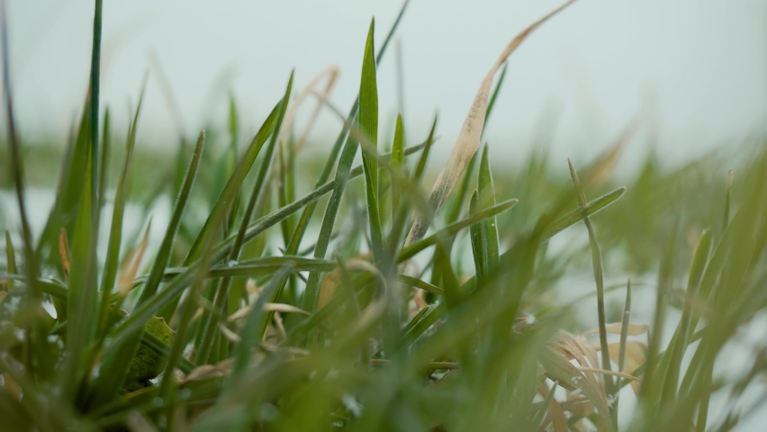 Close up first shoots winter crops of wheat or barley on snowy field. Shot agricultural plants and concept of food industry | Shutterstock HD Video #1068116975