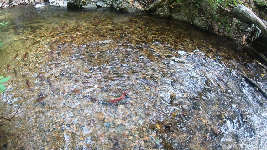 Wild red Sockeye salmon in a river before spawning, British Columbia, Canada | Shutterstock HD Video #1068122213