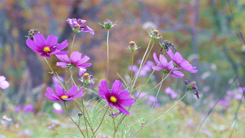 Purple wildflower in park  at autumn season | Shutterstock HD Video #1068122537