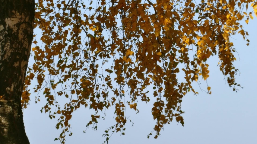 Falling yellow leaves from birch branches | Shutterstock HD Video #1068125456