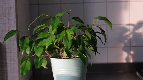someone sprays a ficus benjamin plant from a spray bottle. authentic gardening. home hobby, growing plants, spring, green wet leaves