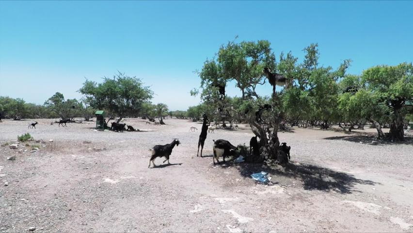Wild Goats Walking Around And Climbing Trees In Morocco - Medium Shot