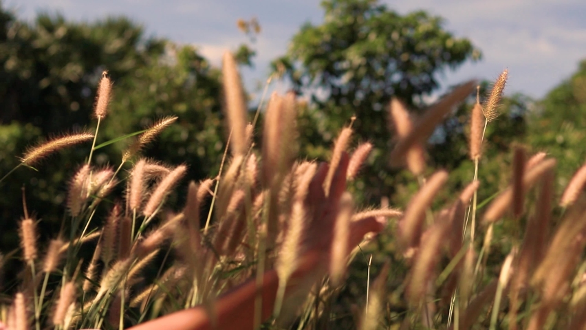 Hand gently playing with the foxtail grass or Setaria among the breeze, shows concept of mental health wellbeing, mindfulness and life   Shutterstock HD Video #1068618386
