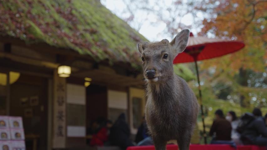 Deer in Nara standing by Tea House in Autumn Japan Scene   Shutterstock HD Video #1068618944