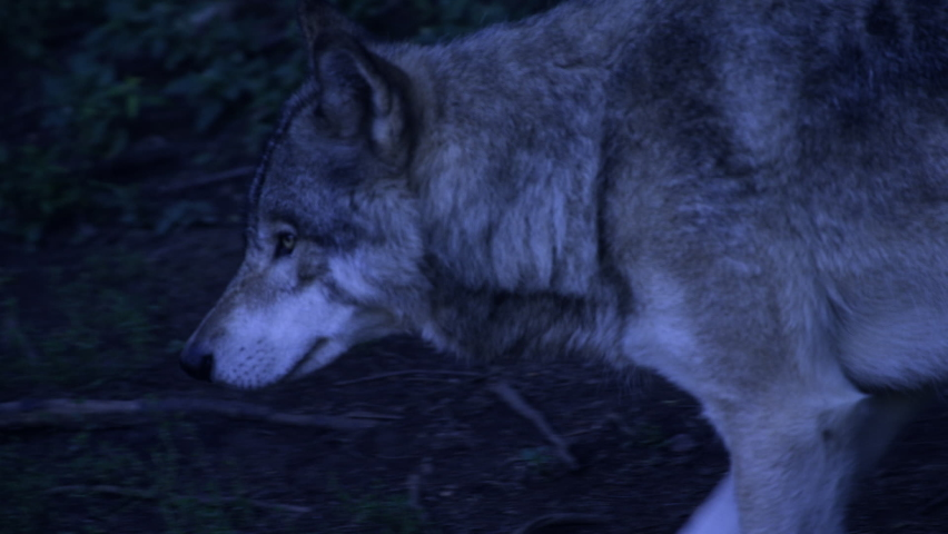 A grey wolf stalking through the forest at night in the Northern Wilderness   Shutterstock HD Video #1068620375