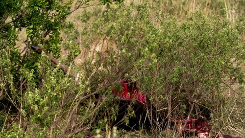 Two adult animals, a lion and a lioness (Panthera leo) playfully fighting and tussling, and then devouring the carcass of some large animal. They are surrounded by a large amount of greenery.