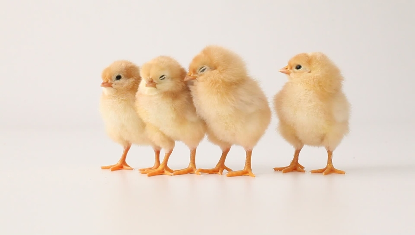 Newborn chicks on white background. Little yellow chickens on a white background.  Little birds. Funny chicks. Humorous chickens. Gallus gallus domesticus. Cute newborn chicks.