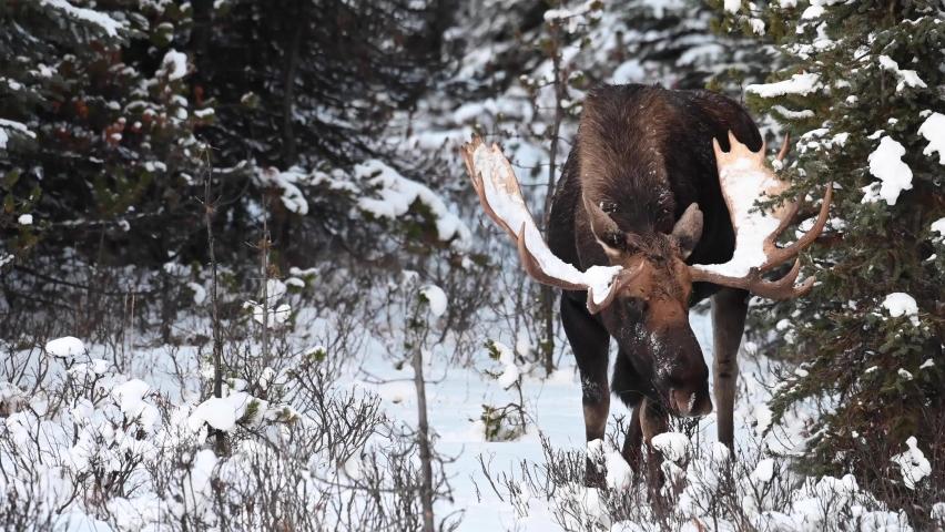 Moose in the Canadian Rockies | Shutterstock HD Video #1068911525