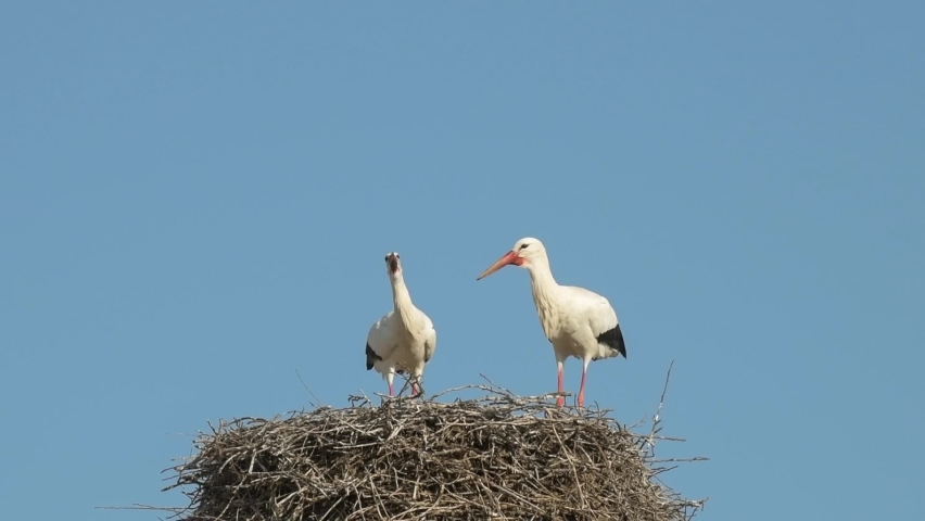 White stork in courtship period in early spring, France, Alsace.