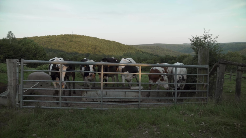 Cows in the landscape of the Ardennes in La Roche en Ardenne, Belgium, Europe, 4K, 25fps Royalty-Free Stock Footage #1069075444