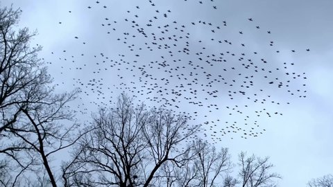 Large flock of birds flying around trees and buildings with camera following pigeons
